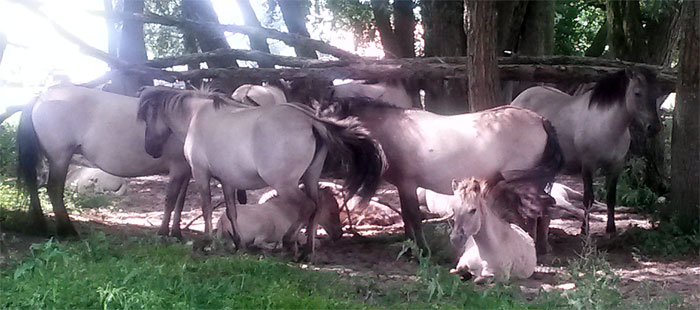 Konikpaarden kudde