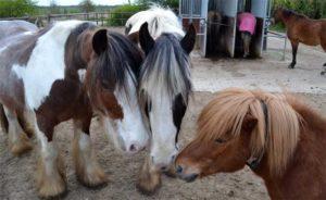 Lichaamstaal bij paarden