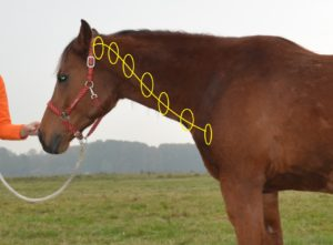 Halswervels paard schematisch