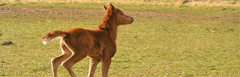 type paard