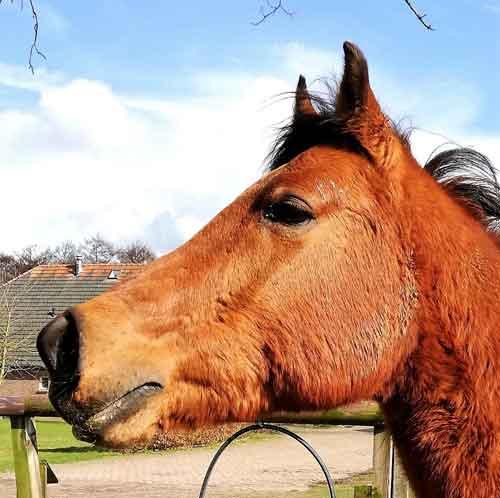 Paarden Karaktertypes Uitleg en Informatie Vuur Paard