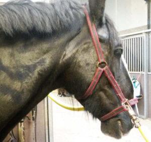 Wat is Learned Helplessness bij paarden